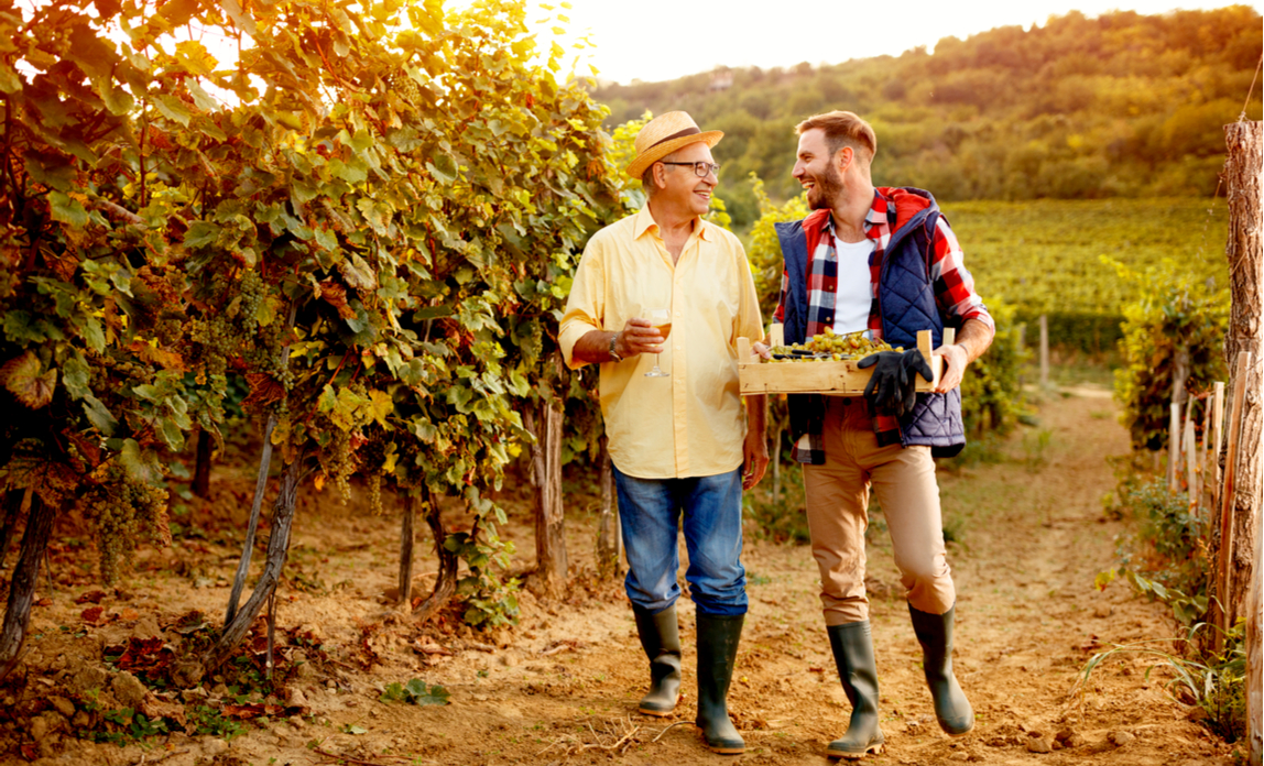 Father and son collecting grapes on their family business vineyard